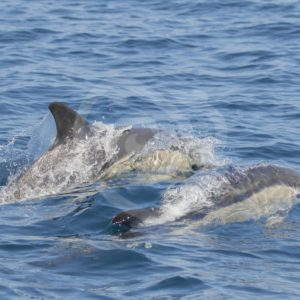2 common dolphins passing by - Nature Stock Photo Agency
