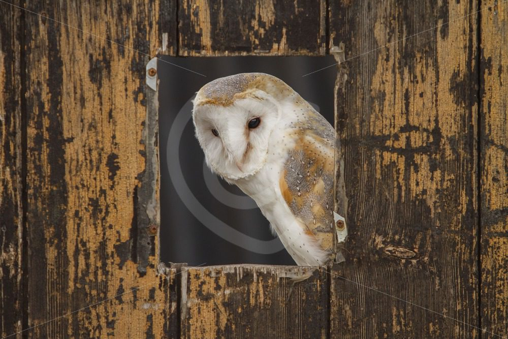 Barn owl peeking from a stable - Nature Stock Photo Agency