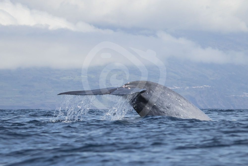 Beautiful fluke of a blue whale - Nature Stock Photo Agency