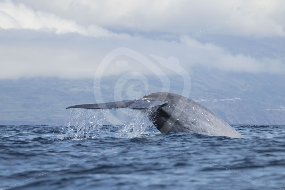 Beautiful fluke of a blue whale - Nature Stock Photo Agency