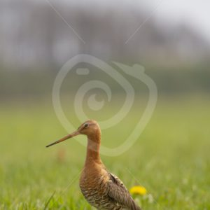 Black tailed godwit in the meadow - Nature Stock Photo Agency