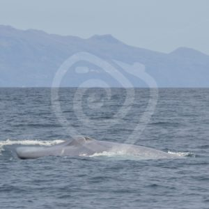 Blue whale coming to the surface for breathing - Nature Stock Photo Agency