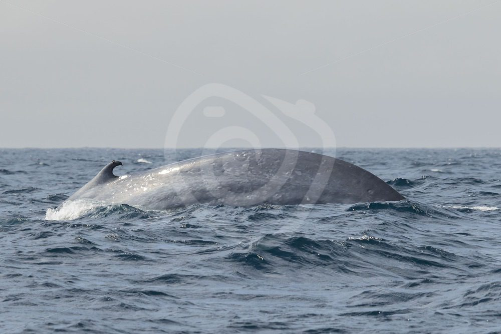 Blue whale diving with dorsal fin - Nature Stock Photo Agency