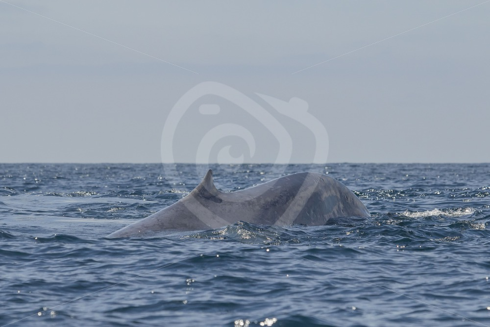 Blue whale dorsal fin - Nature Stock Photo Agency