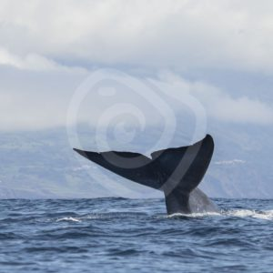 Blue whale fluke right before the dive - Nature Stock Photo Agency