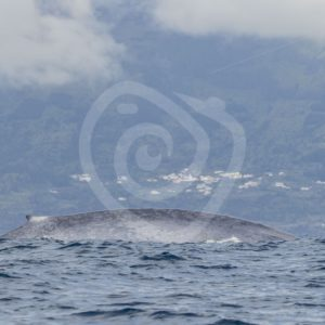 Blue whale in front of Pico island, Azores - Nature Stock Photo Agency