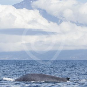 Blue whale in front of mount Pico - Nature Stock Photo Agency