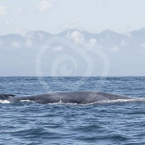 Blue whale on the surface with its breathing holes - Nature Stock Photo Agency