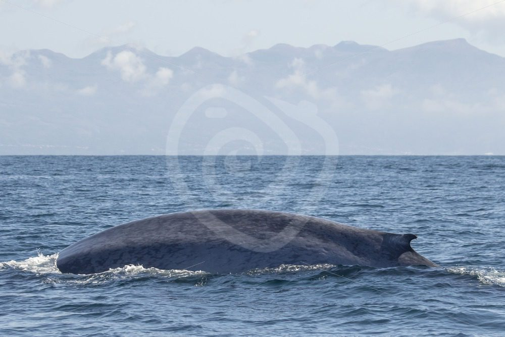 Blue whale side while diving - Nature Stock Photo Agency