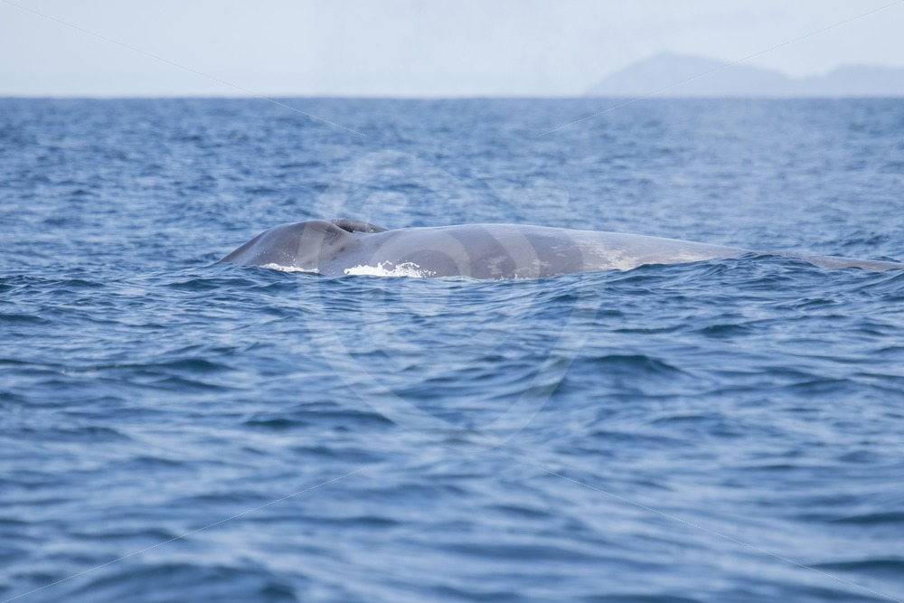 Blue whale taking a breath in front of Pico - Nature Stock Photo Agency