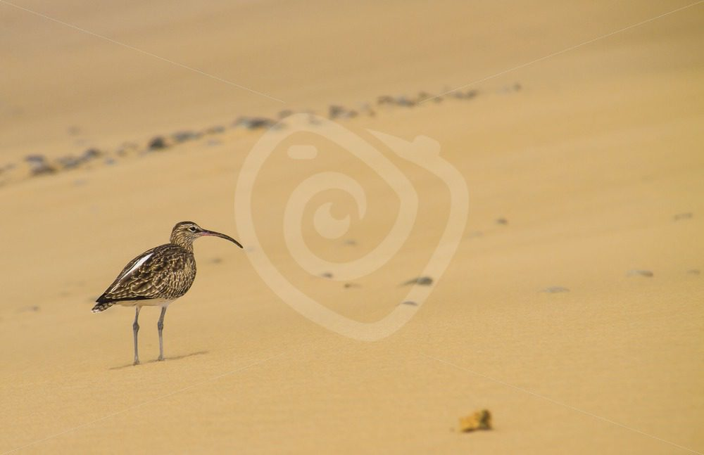 Curlew in the dunes - Nature Stock Photo Agency