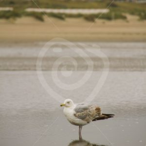 European herring gull on a Belgian beach - Nature Stock Photo Agency