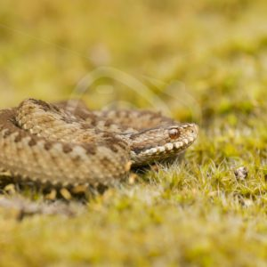 European viper in close up - Nature Stock Photo Agency