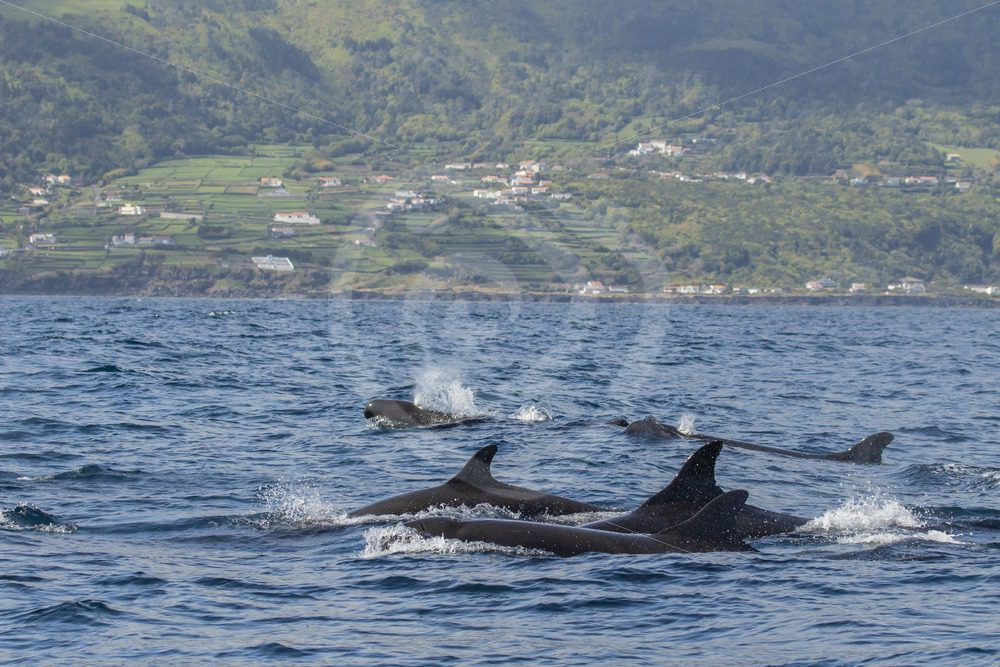 False killer whale group near Pico - Nature Stock Photo Agency