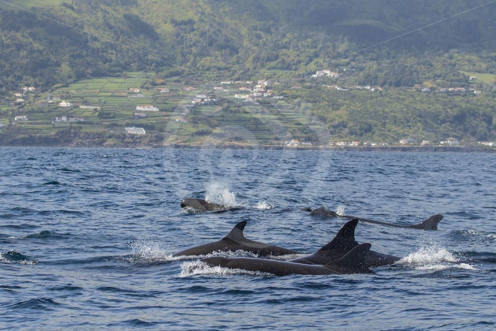 False killer whale group near Pico - Nature Stock Photo Agency