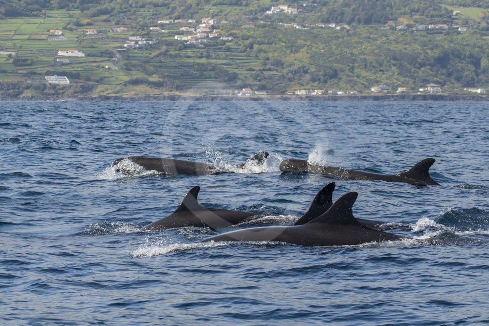 False killer whales near the shore - Nature Stock Photo Agency