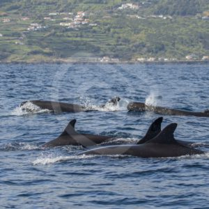 False killer whales near the shore - Nature Stock Photo Agency