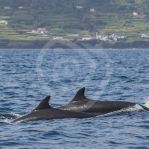 False killer whales passing by - Nature Stock Photo Agency