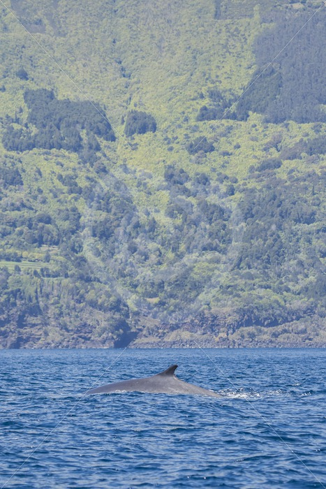 Fin whale in front of the coast of Pico - Nature Stock Photo Agency