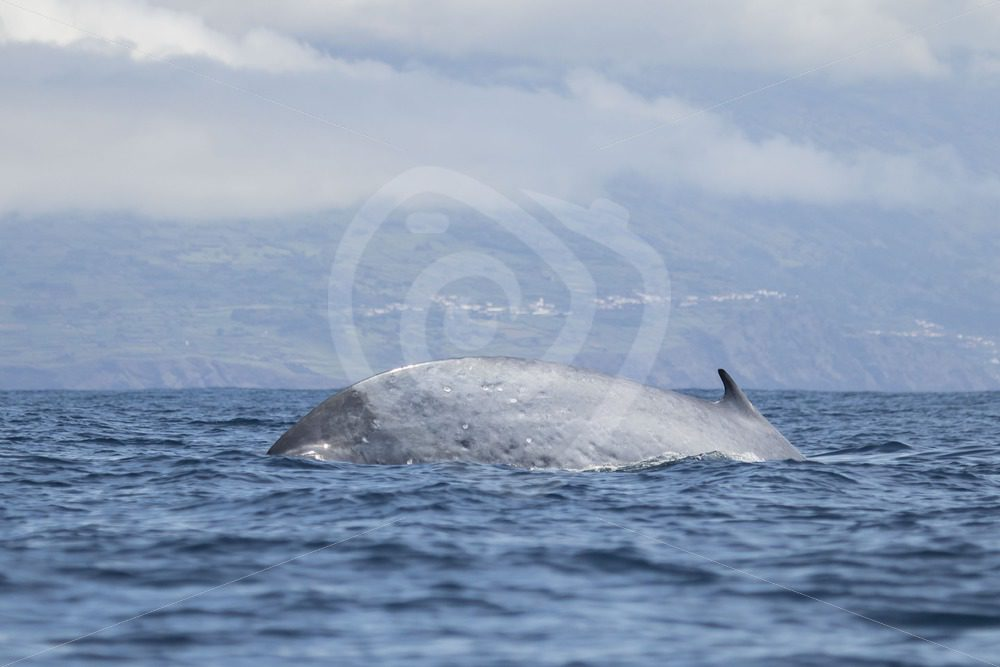Finwhale diving near shore - Nature Stock Photo Agency