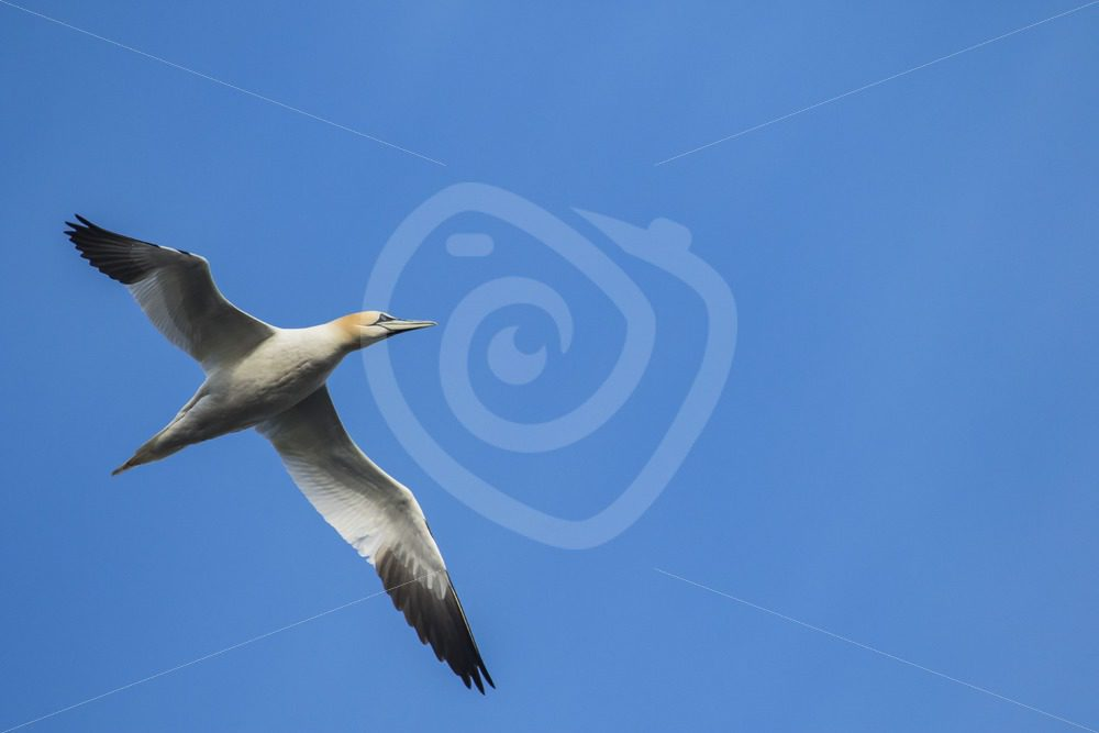 Gannet flying over - Nature Stock Photo Agency