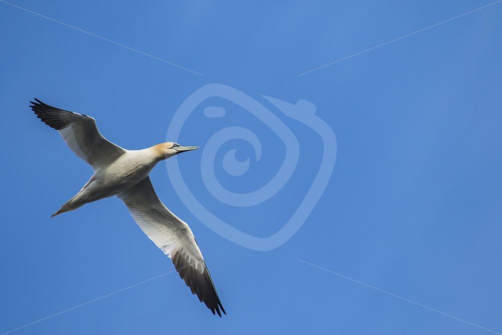 Gannet flying over - Nature Stock Photo Agency