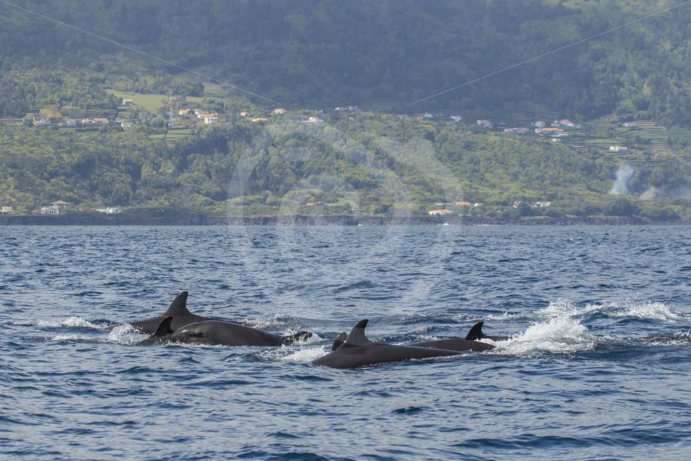 Group of false killer whales - Nature Stock Photo Agency
