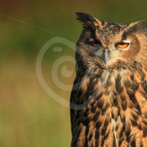 Juvenile Eurasian eagle-owl - Nature Stock Photo Agency