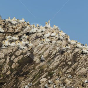 Nestling gannets on Bleik birdisland - Nature Stock Photo Agency