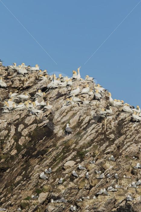 Nestling gannets on Bleik birdisland - Nature Stock Photo Agency