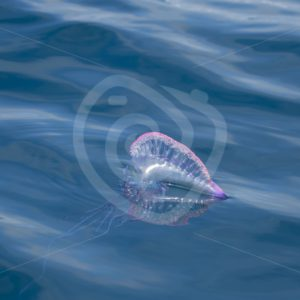 Portuguese man o war with tentacle view - Nature Stock Photo Agency