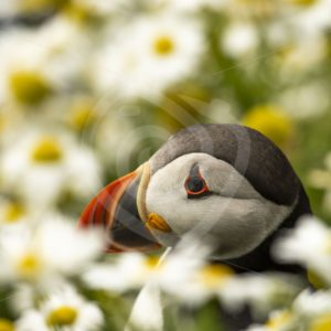 Puffin hiding between the flowers - Nature Stock Photo Agency