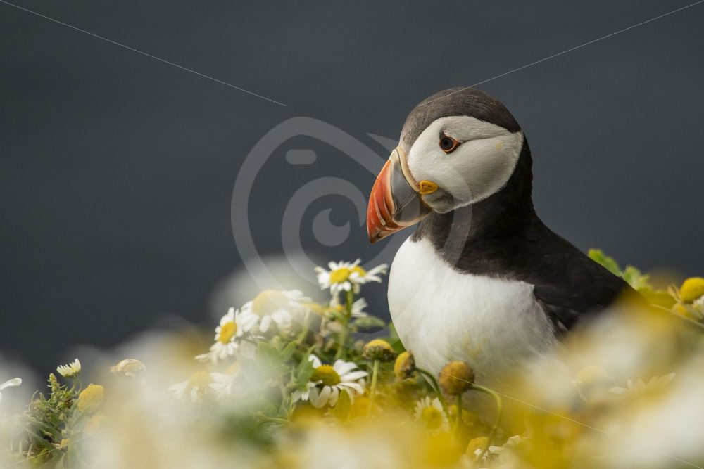 Puffin in between flowers - Nature Stock Photo Agency