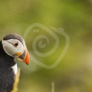 Puffin near Sumburgh Shetland - Nature Stock Photo Agency