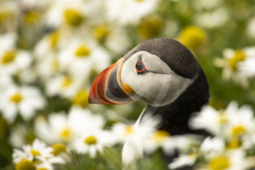 Puffin portrait between the flowers - Nature Stock Photo Agency