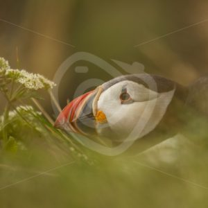 Puffin through the grass and flowers - Nature Stock Photo Agency