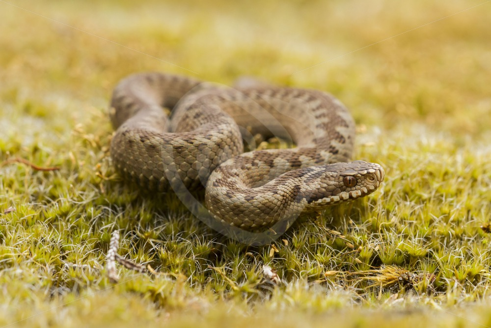 Retracted European viper - Nature Stock Photo Agency
