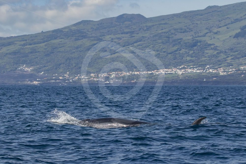 Sei whale in th Azores - Nature Stock Photo Agency