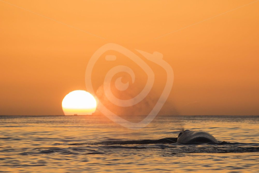 Spermwhale blowing in the midnight sun - Nature Stock Photo Agency