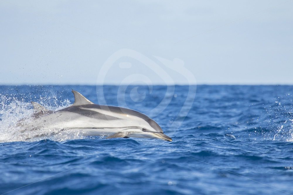 Striped dolphin jumping out of the waves - Nature Stock Photo Agency
