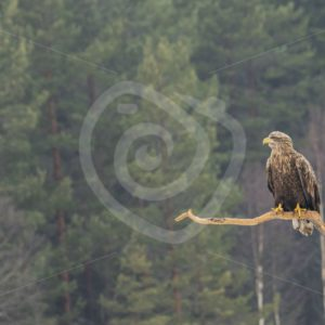 White-tailed eagle on a branch - Nature Stock Photo Agency