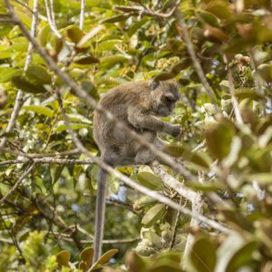 Adult long-tailed macaque in a tree - Nature Stock Photo Agency