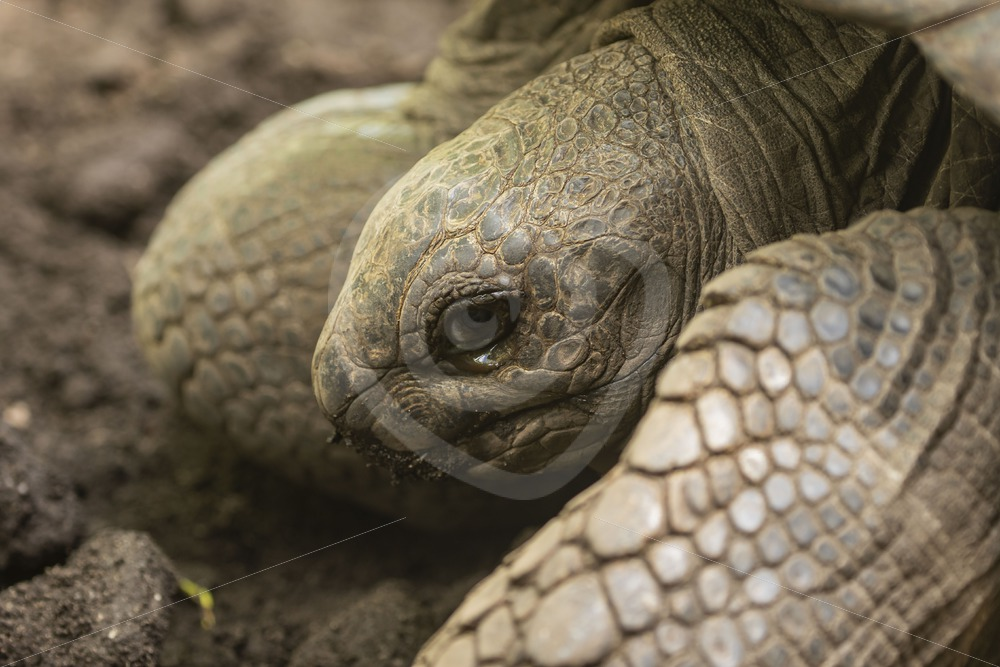 Aldabra tortoise close up - Nature Stock Photo Agency