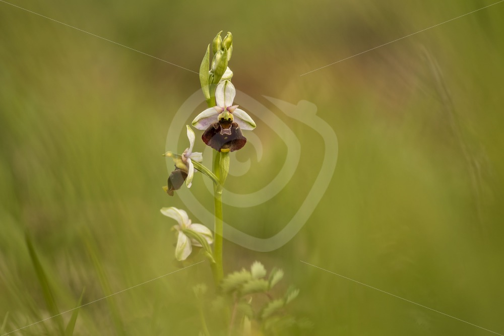 Bee orchid in a meadow in the South of Belgium - Nature Stock Photo Agency