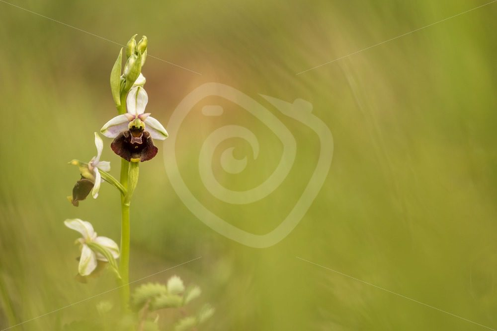 Bee orchid portrait - Nature Stock Photo Agency