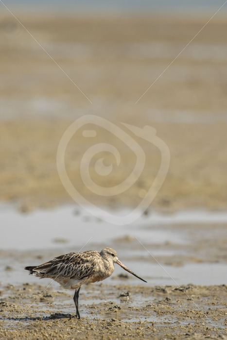 Black-tailed godwit on Dutch beach - Nature Stock Photo Agency