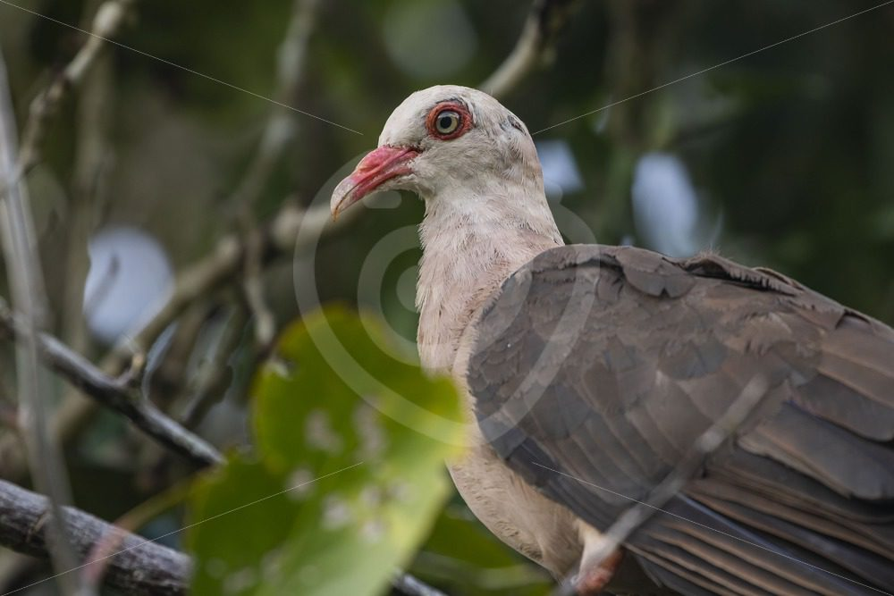 Close up of pink pigeon - Nature Stock Photo Agency