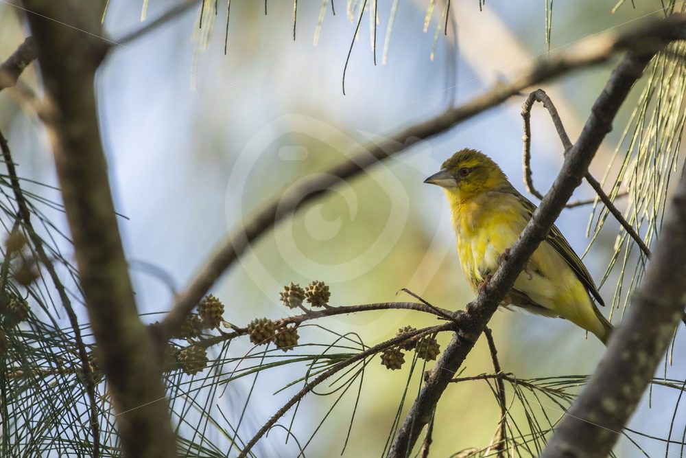 Female village weaver - Nature Stock Photo Agency