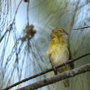 Female village weaver looking up - Nature Stock Photo Agency