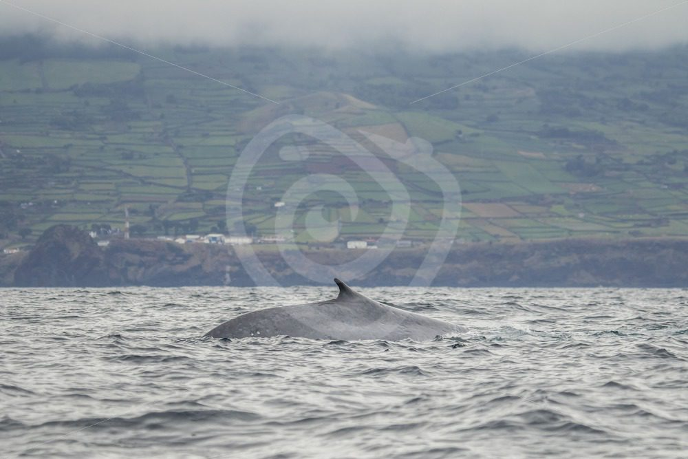Fin whale in front of agrarian coast of Pico - Nature Stock Photo Agency